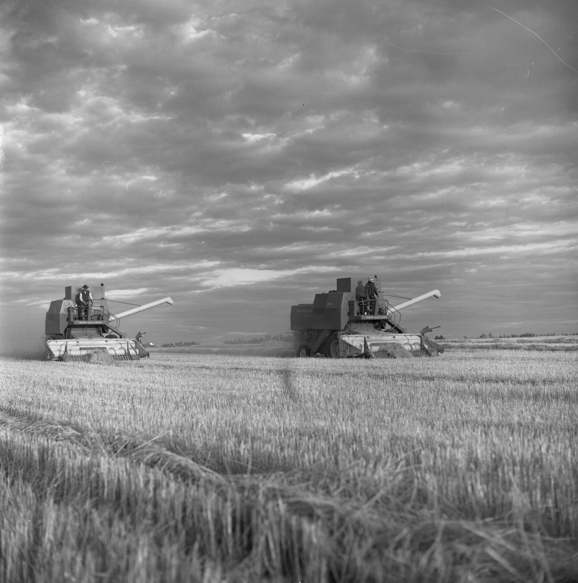 Des moissonneurs de la ferme Sattler, près de Regina, travaillent jusqu'au crépuscule.
