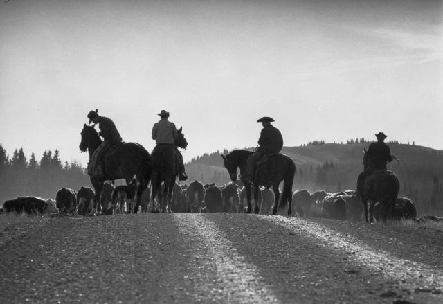 Des cowboys s'occupent du troupeau lors du rassemblement annuel dans l'Ouest canadien.